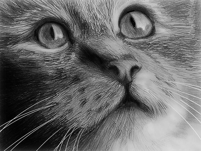 Cat Portrait Drawing by William Hay