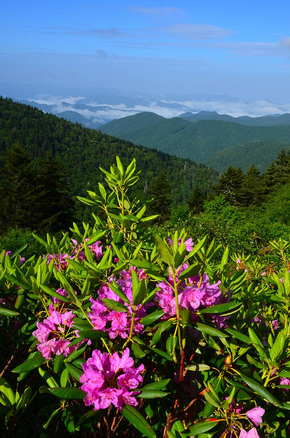 Catawba Rhododendron The Blue Ridge Parkway Photograph