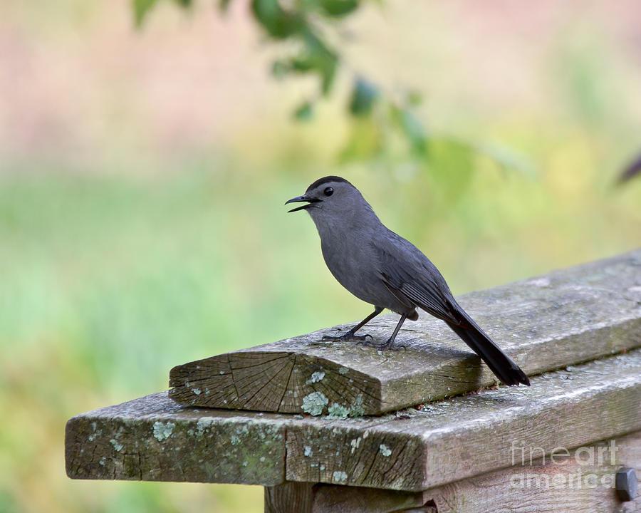 Gray Catbird Photograph - Catbird Calling by Kerri Farley