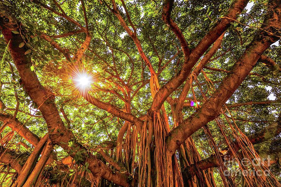 Catch a Sunbeam Under the Banyan Tree by D Davila