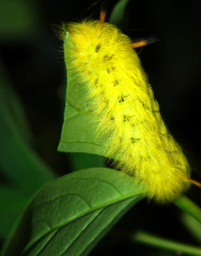 Yellow Photograph - Caterpillar by Mark Wiley