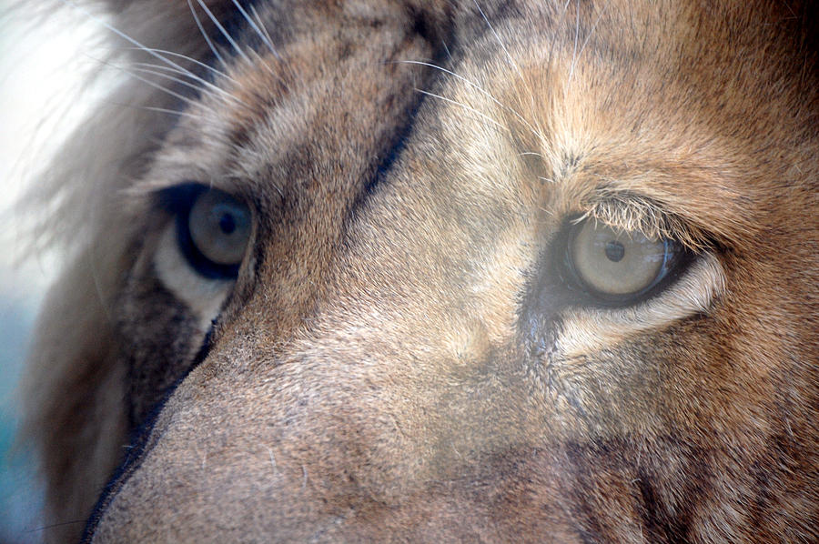 Lion Photograph - Cats Eyes by Lisa Kane