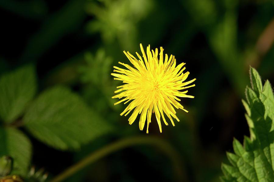 Catsear Flower. Photograph
