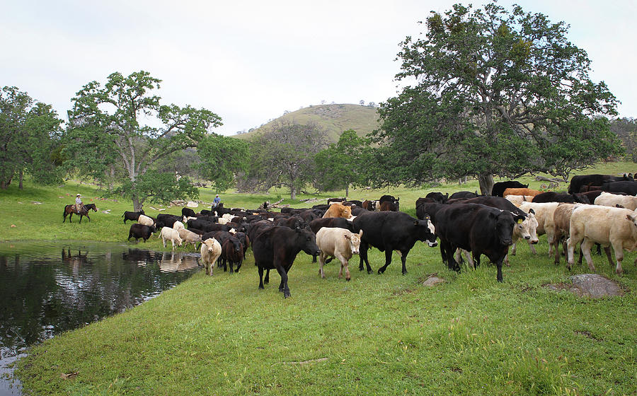 Cattle by Diane Bohna