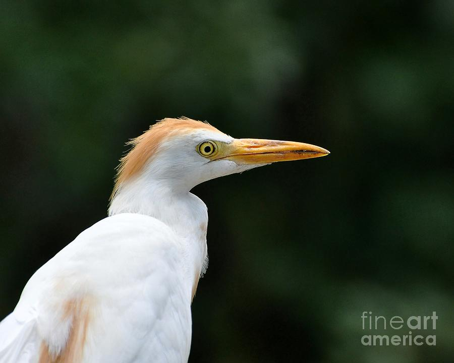 Egret Photograph - Cattle Egret Close-up by Al Powell Photography USA
