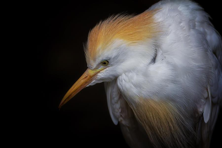 Cattle Egret Photograph - Cattle Egret Closeup Portrait by David Gn