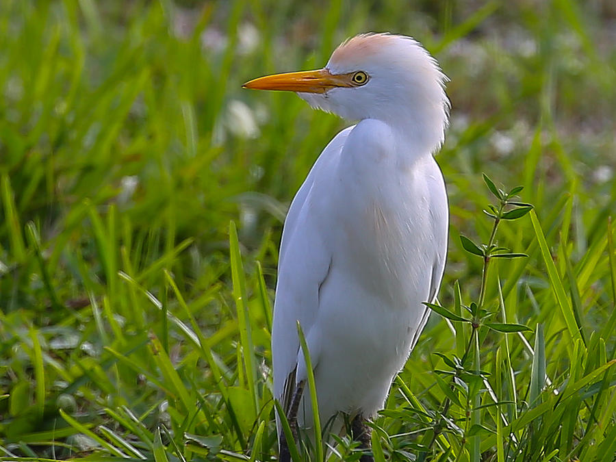 Cattle Egret Photograph - Cattle Egret by Dart and Suze Humeston