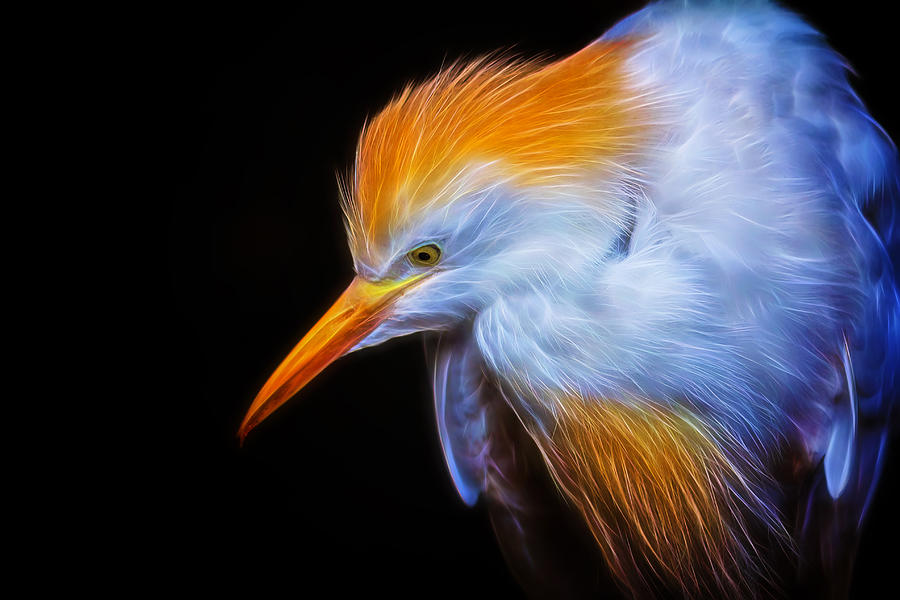 Cattle Egret Photograph - Cattle Egret Electrified by David Gn