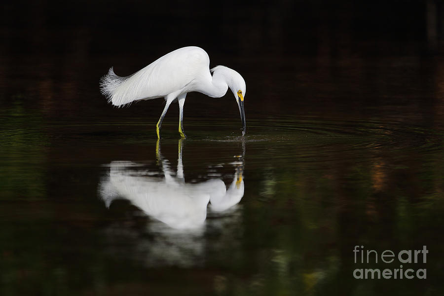 Bird Photograph - Cattle Egret Fishing by Rick Mann