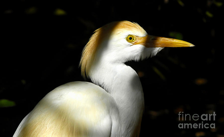 Cattle Egret Photograph - Cattle Egret In Shadow by David Lee Thompson