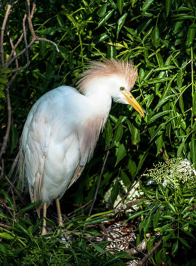 Cattle Egret Photograph - Cattle Egret by Norman Johnson