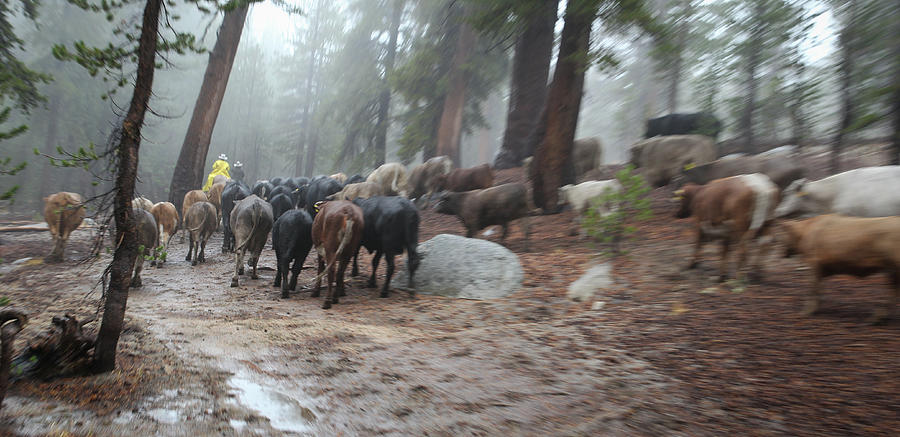 Cattle Moving by Diane Bohna