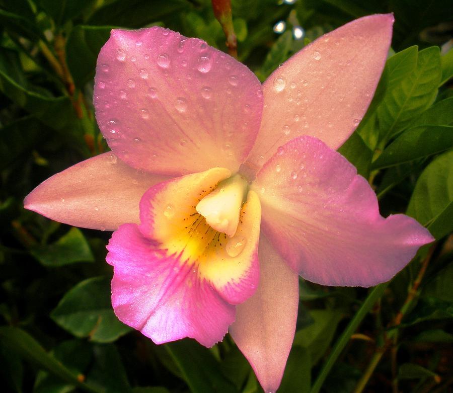 Cattleya hybrid orchid photograph by freda sbordoni for Orchidea cattleya