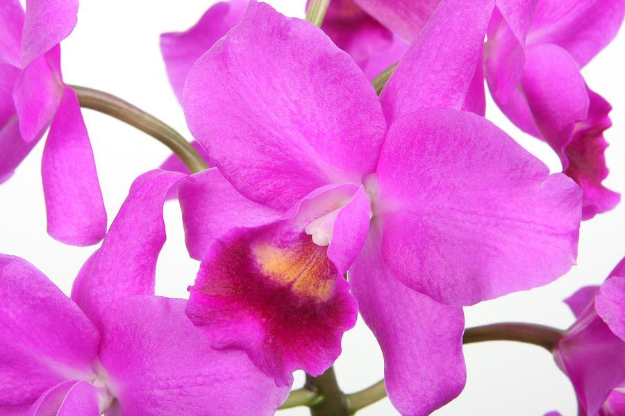 Cattleya Photograph - Cattleya Orchid by Lynn Berreitter