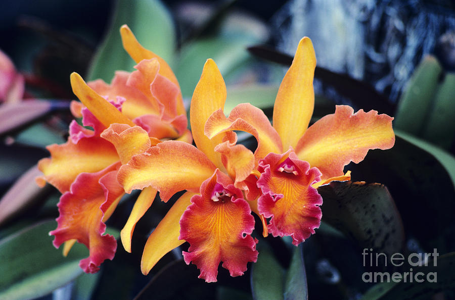 Afternoon Photograph - Cattleya Orchids by Allan Seiden - Printscapes