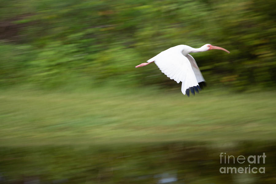 Bird Photograph - Caught in Flite by Michael Rados