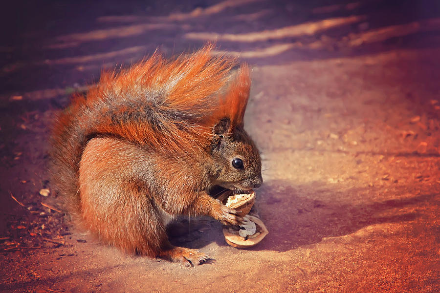 Squirrel Photograph - Caught Red Handed by Carol Japp
