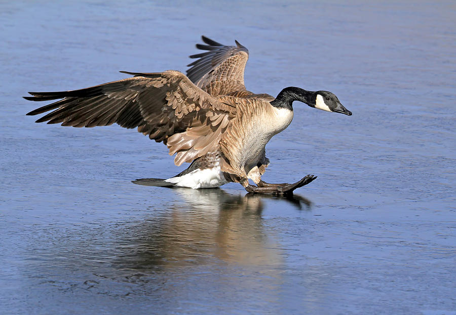 Canada Goose Photograph - Caution - Ice Is Slippery by Donna Kennedy