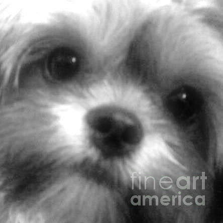 Shorkie Photograph - Cc Our Baby by Buffy Heslin