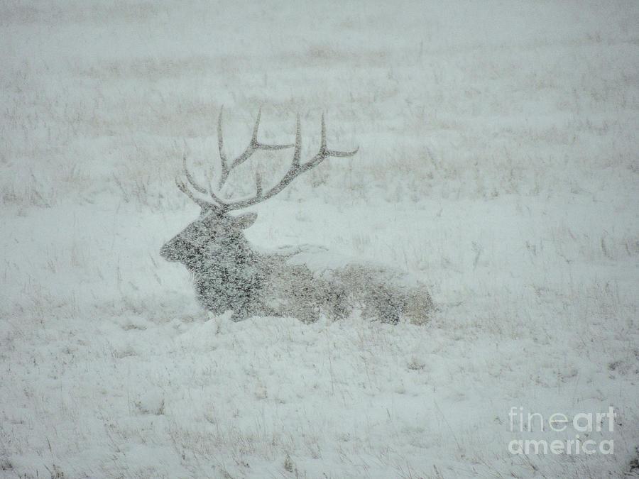 Elk In A Snowstorm Photograph
