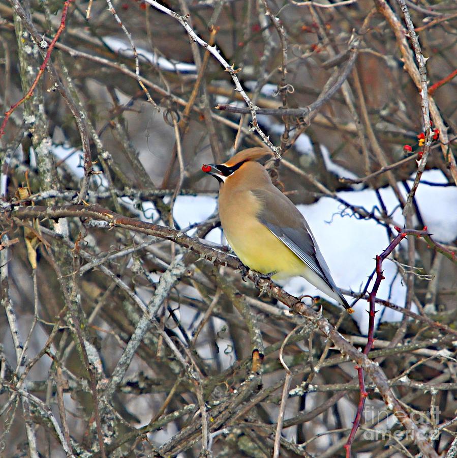 Bird Photograph - Cedar Wax Wing by Robert Pearson
