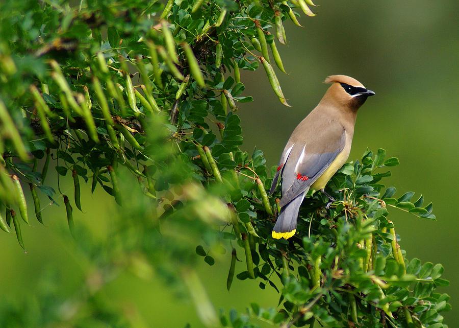 Birds Photograph - Cedar Waxwing #1 by Ben Upham III