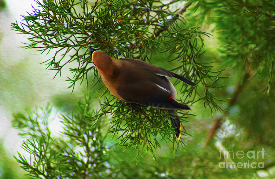 Cedar Waxwing Beauties 1 by Kim Pate
