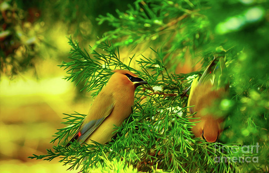 Cedar Waxwing Beauties 10 by Kim Pate