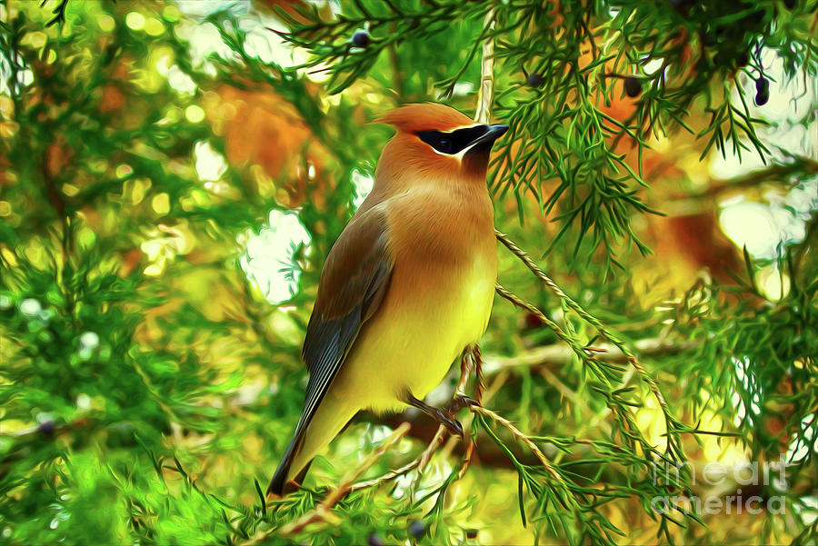 Cedar Waxwing Beauties 11 by Kim Pate