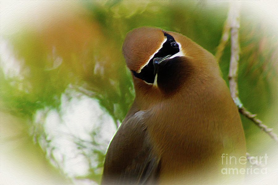 Cedar Waxwing Beauties 12 by Kim Pate