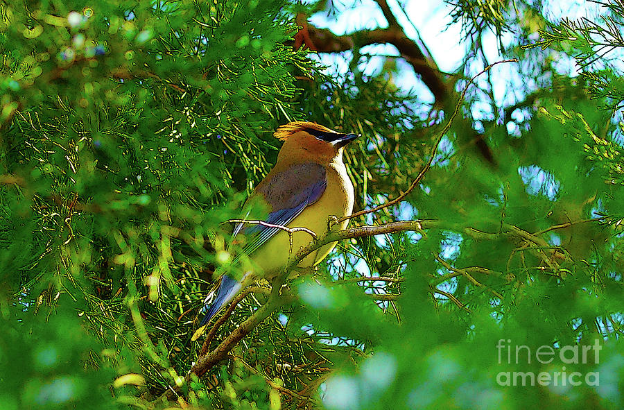 Cedar Waxwing Beauties 13 by Kim Pate