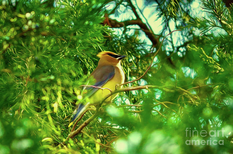 Cedar Waxwing Beauties 15 by Kim Pate