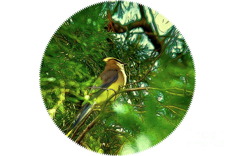 Cedar Waxwing Beauties 16 by Kim Pate