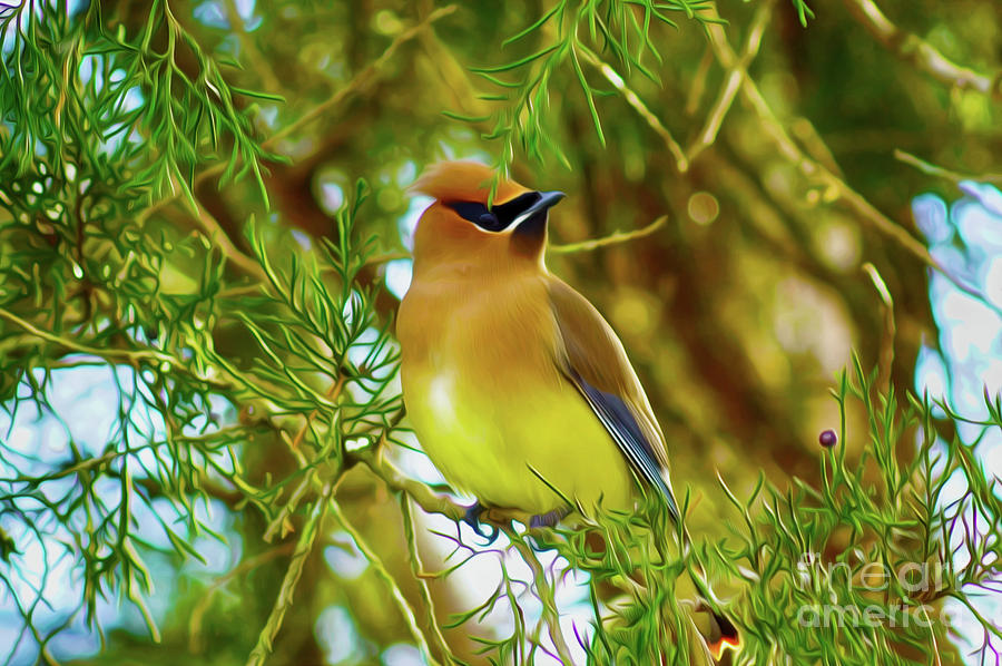 Cedar Waxwing Beauties 17 by Kim Pate