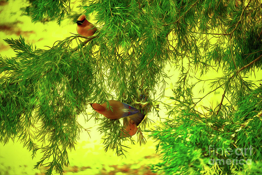 Cedar Waxwing Beauties 18 by Kim Pate