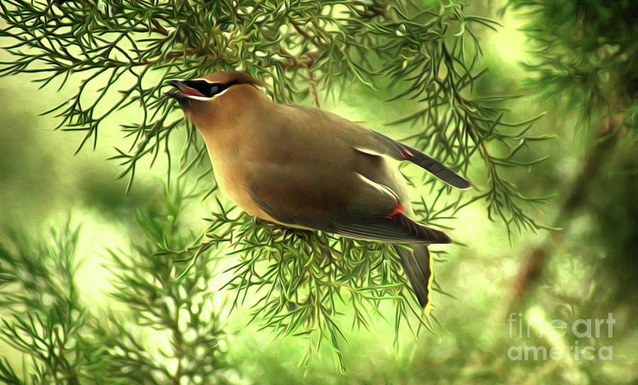 Cedar Waxwing Beauties 2 by Kim Pate