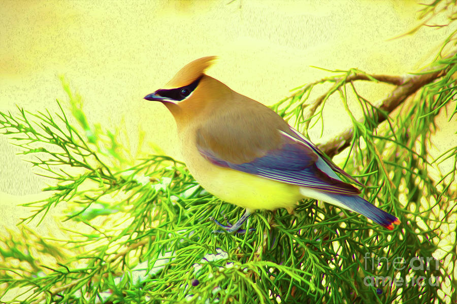 Cedar Waxwing Beauties 20 by Kim Pate