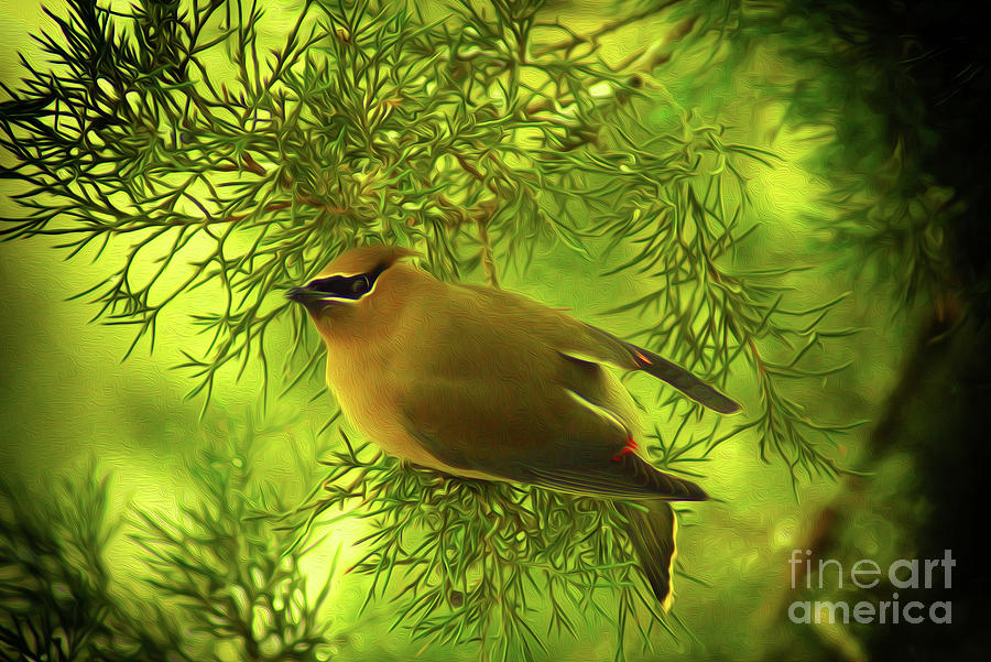 Cedar Waxwing Beauties 3 by Kim Pate