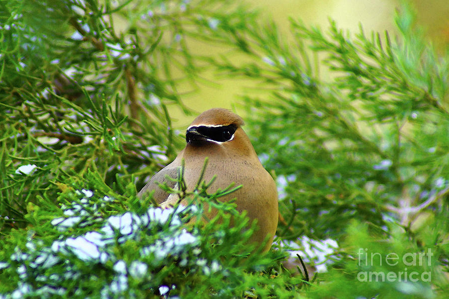 Cedar Waxwing Beauties 4 by Kim Pate