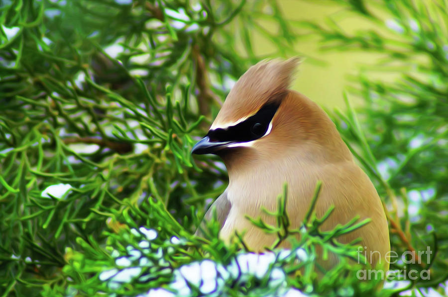 Cedar Waxwing Beauties 6 by Kim Pate