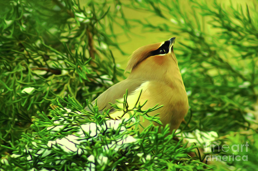 Cedar Waxwing Beauties 7 by Kim Pate