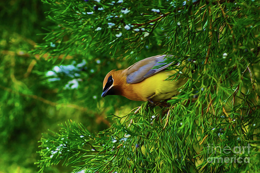 Cedar Waxwing Beauties 8 by Kim Pate