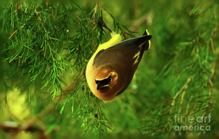 Cedar Waxwing Beauties 9 by Kim Pate