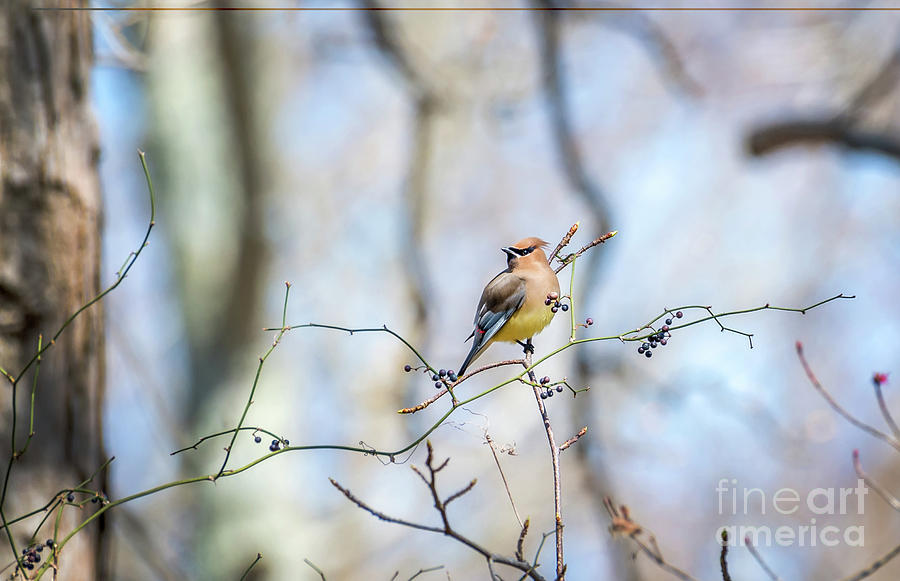 Cedar Waxwing bird in a bush with berries during Springtime by Patrick Wolf