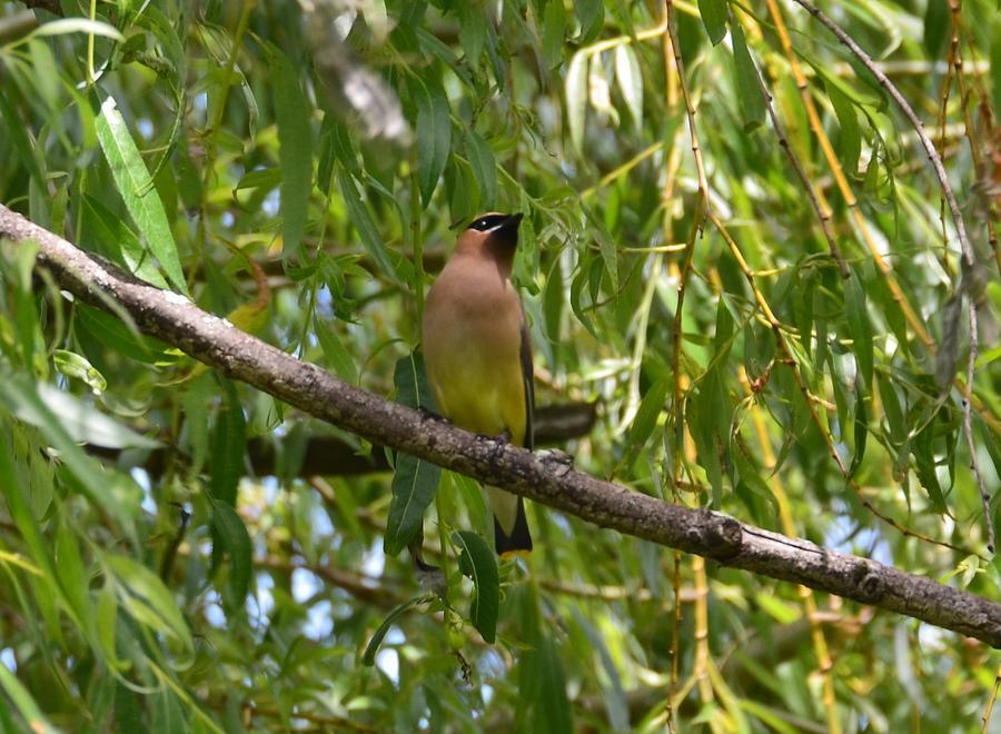 Bird Photograph - Cedar Waxwing by Judd Nathan