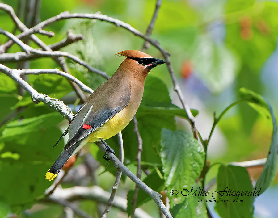 Cedar Waxwing by Mike Fitzgerald