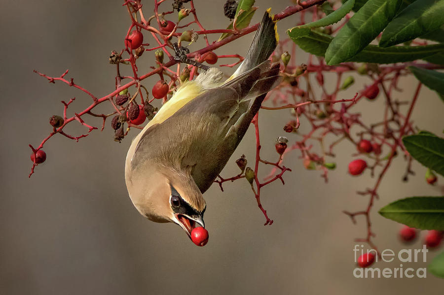 Cedar Waxwing with Toyon Berry by Alice Cahill