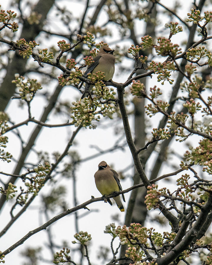 Cedar Waxwings In A Blossoming Tree by William Bitman