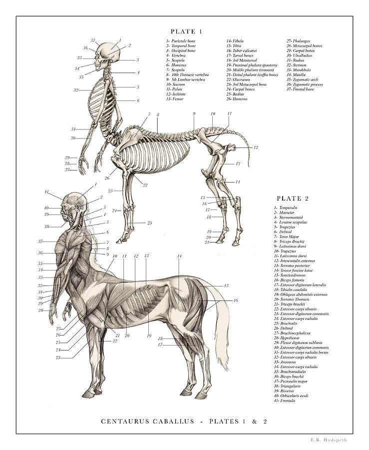 Horse Anatomy Drawings | Fine Art America