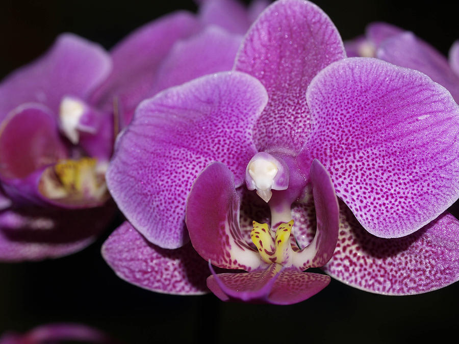 Orchids Photograph - Center Of Attention by Joyce Hutchinson